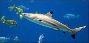 Tauchen mit Großfisch Haie Philippinen