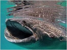 Walhaie Philippinen
