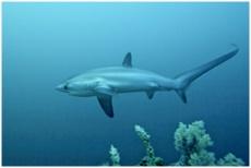 Tauchen mit Grossfisch Philippinen Fuchshaie Thresher Sharks